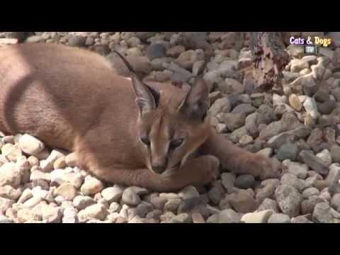 Cats&DogsTV - УДИВИТЕЛЬНЫЙ МИР КОШЕК - КАРАКАЛ ДОМАШНИЙ / CARACAL FOR HOME