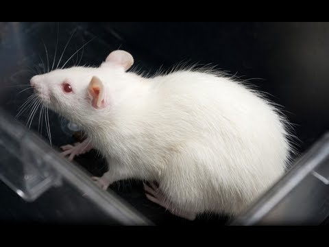 Rats mind-reading technology: Scientists create 'telepathic' connection