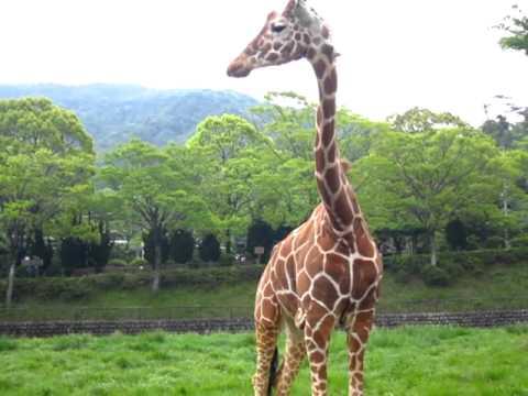 安佐動物公園のキリン食事動画