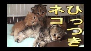 【猫好き】ひっつきネコ!(ラガマフィン)《funny cats》