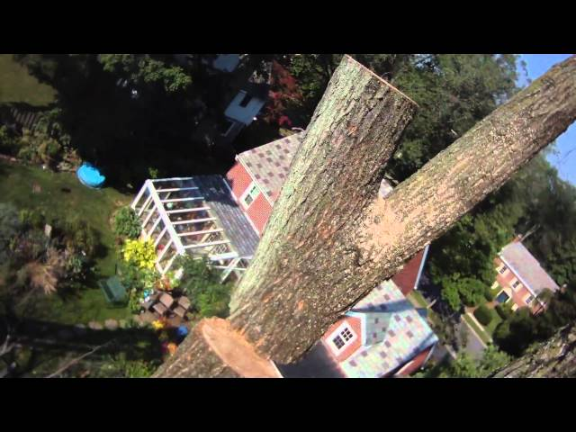 State College tree removal elm