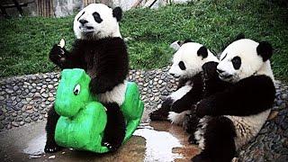 Download Lagu Playing Pandas 🐼 Baby Panda [Funny Pets] Gratis STAFABAND