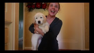 Golden Retriever Puppy Surprise 06/11/2017