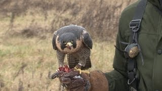 Falconry Told