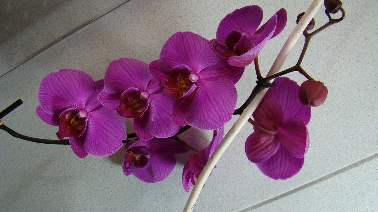 Орхидеи фаленопсис посадка