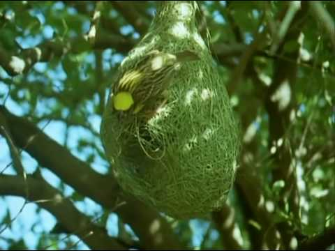Bbc Home Making: Weaver Bird video