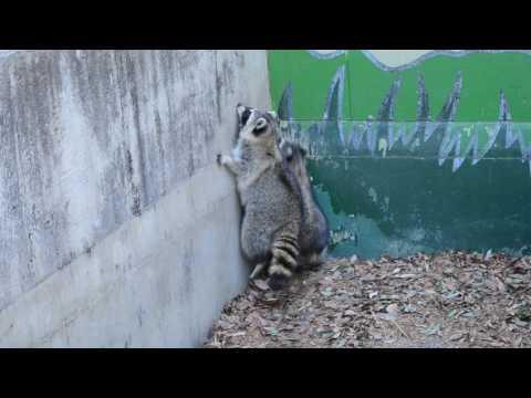 アライグマ@狭山市立智光山公園こども動物園