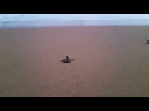 Baby Sea Turtles Releasing - Srilanka