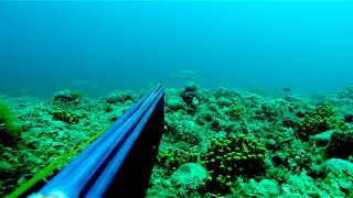 Dentex-Sargo-Corvina spearfishing by cihan atahan from izmir/TURKEY OCTOBER 2014