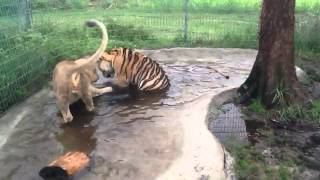 Baby Lion and Tiger playing in water