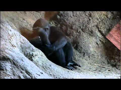 2011年5月31日の上野動物園のゴリラの赤ちゃんコモモ。Cute baby gorilla.