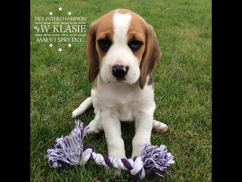 Jak Wytresować Beagle