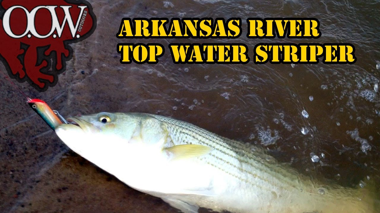 Awesome striper fishing arkansas river oow outdoors for Fishing bait ark
