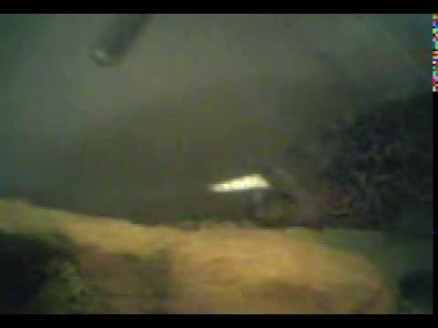 "+++++++SKIP TO 15 SEC+++++++this is my 14"" MALE JAGUAR CICHLID EATING A 6"" PILCHARD sorry about the cam it shit but you can still see him munching it 2011"