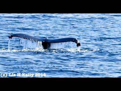 3 Humpback Whale Tales Newport Beach CA