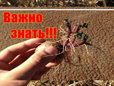 Секрет ускоренного выращивания картофеля / Ведро с куста / Как правильно проращивать картофель