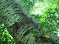 <癒し★自然音> ミンミンゼミの鳴き声 セミが鳴く夏の森林(安らぎ・リラックス・リフレッシュ・ストレス解消)