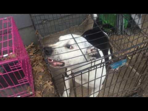 PitBull Barking and growling
