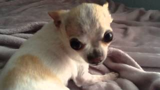 Cute angry chihuahua!!
