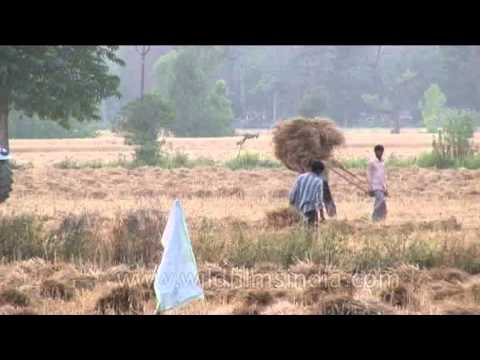 Harvesting of dried paddy field in India