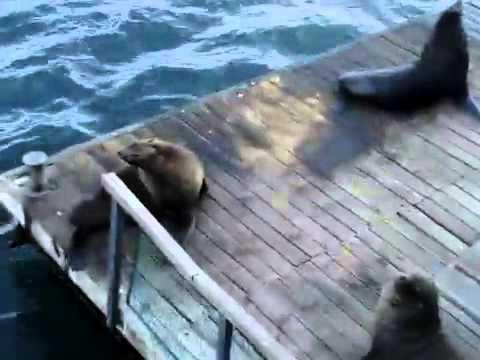 Морской котик копирует смех девушки