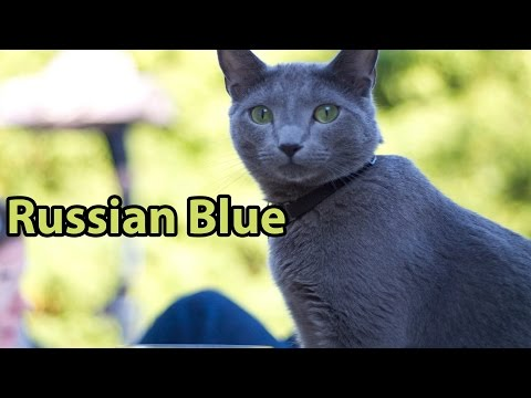 Russian blue cat mix
