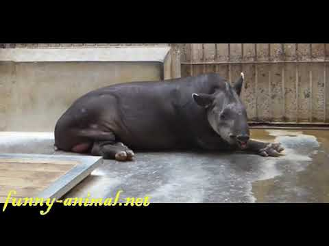 South American Tapir moving its nose, funny 南美貘舞动鼻子卖萌