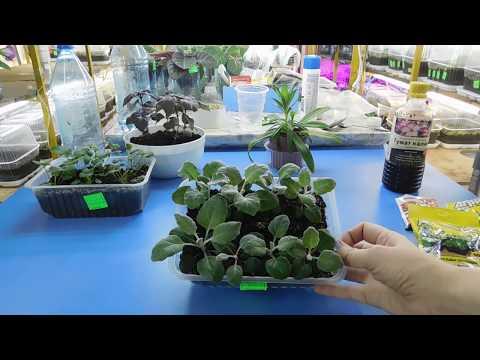 Выращивание цинерарии серебристой из семян 32