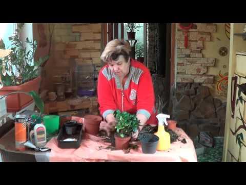 Гардения. Капризы Гардении и Как Ей Угодить. Ароматные Комнатные Растения