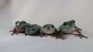 Meet The Whites Tree Frogs!