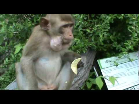 Жадная обезьяна