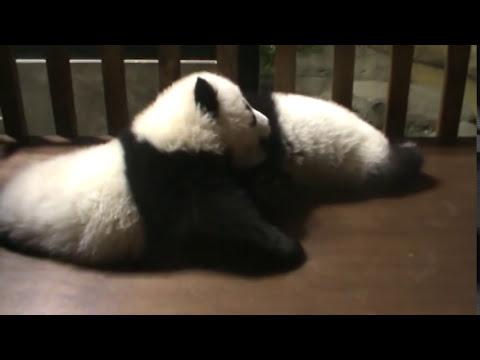 Así juegan los bebés osos panda   Zoo Madrid