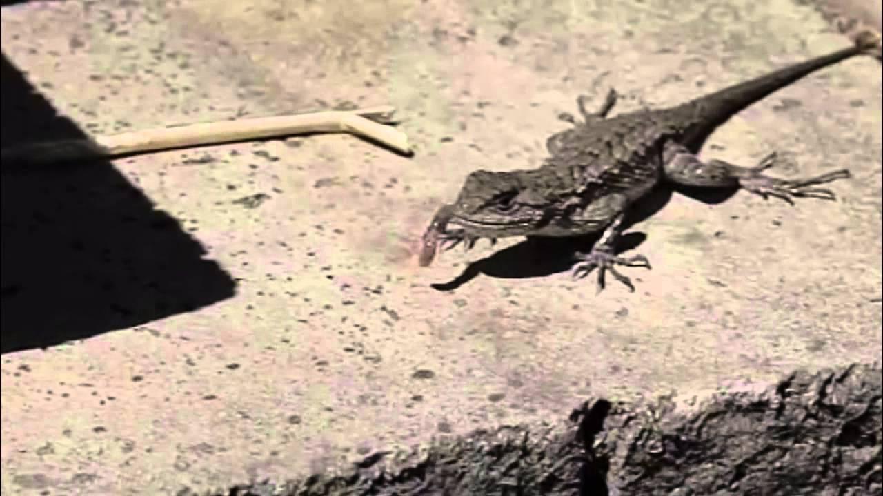 Lizards Eat Worms Western Fence Lizard Eats