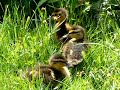 Ducklings In The Sun