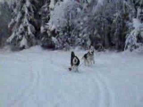 Siberian Husky Icycle and Alaska Husky mix Kodiak running 1