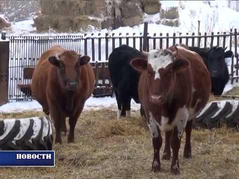 откорм бычков новое видео 2017