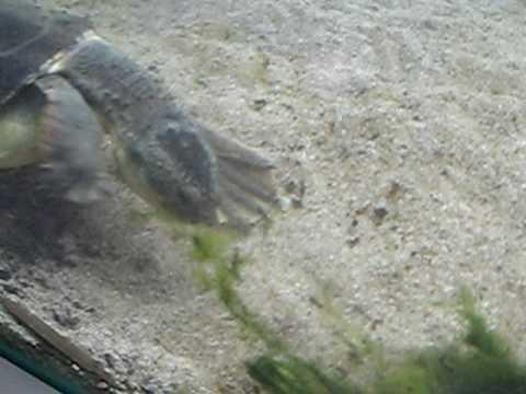 Mary river turtle algae - photo#12