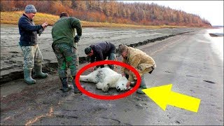 Polar Bear Cub Stuns Experts After Wandering 450 Miles South All By Herself