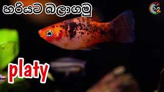 Platy fish CARE in Sinhala