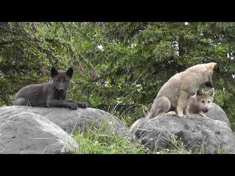 2011年7月4日 旭山動物園 シンリンオオカミ 岩の上の子供たち