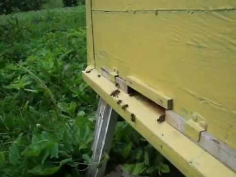 Пчеловодство. Роевой период. 8 признаков-примет (8)