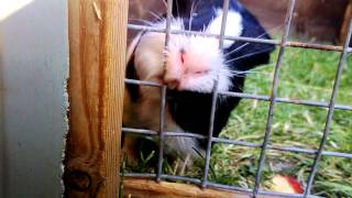 Guinea Pig Tries to Escape!