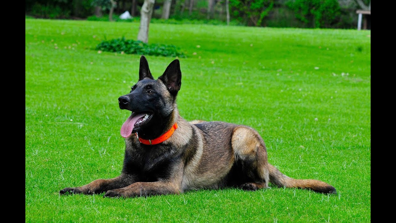 Protection Training Dogs Site Youtube Com