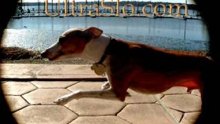 Italian Greyhound running in UltraSlo motion Same dog different shot