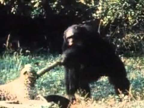 Wild Chimp attack Experiment
