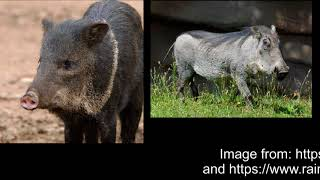 Video: In Leviticus 11:7, God forbids Pig and Swine - Aaron Youtube