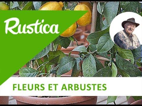 Culture citronnier en pot