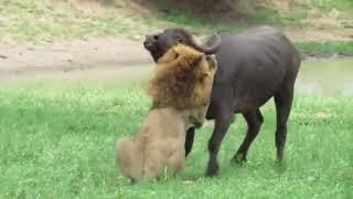 Combat des animaux - Combat les plus étonnantes Animal sauvage #36