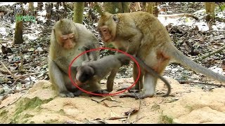 OMG  Why monkey want to kill baby monkey Amara,baby cry and shout loudly