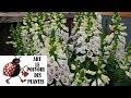 Jardinage Digitale Digitalis Dalmatian White Photos De Fleurs Et De Plantes Vivaces mp3